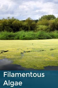 Filamentous Algae.1