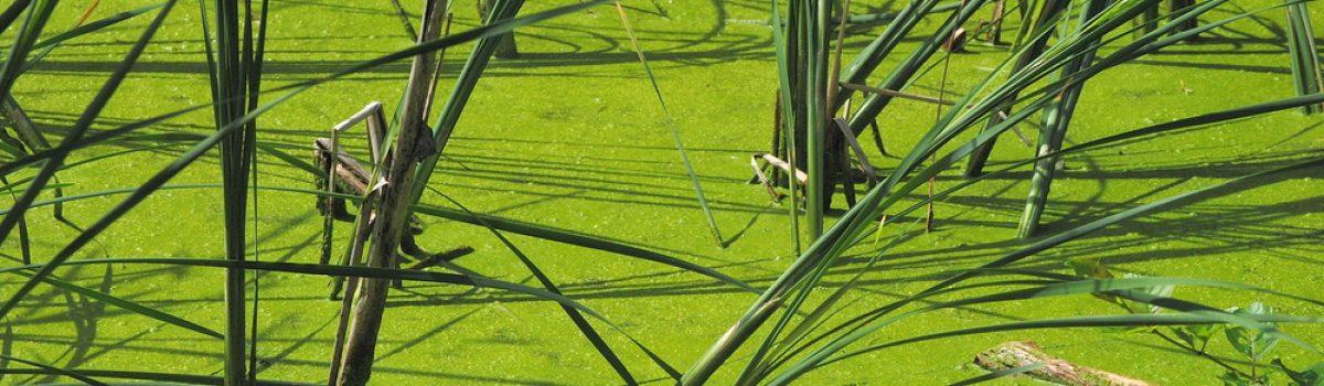 Best strategies for pond algae control and pond sludge remediation