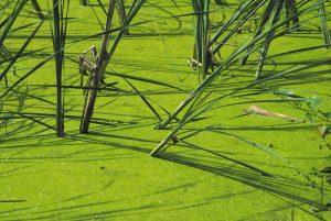 algae bioremedy
