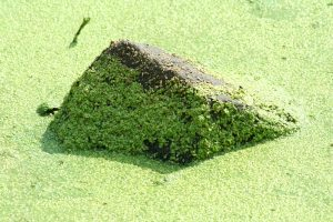 pondalgae bioremedy